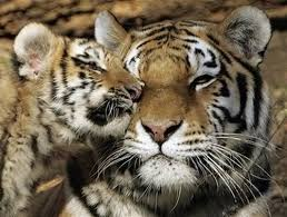 22 best tigers images on pinterest nature wild animals and