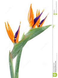 bird of paradise flower bird of paradise flower stock images image 8006244