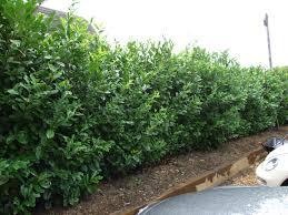 Garden Hedges Types Instant Hedging And Instant Hedges