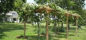 Growing Grapes Trellis How To Build A Grape Trellis