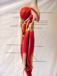 Pgcc Anatomy And Physiology Lab Practical Anatomy And Physiology Models Labeled At Best Anatomy Learn