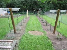 growing grapes in my vineyard trellis construction
