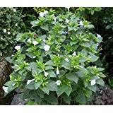 Most Fragrant Jasmine Plant - amazon com worlds most fragrant jasmine night jasmine 25 seeds