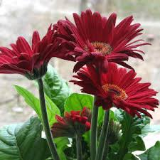 gerbera plant buy gerbera plant gerbera planting care soil and