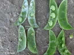 Bean Leaves Bed Bugs Lima Bean U2013 Weekly Crop Update U2013 Cooperative Extension In Delaware
