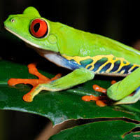 eyed tree frogs adults 49 99