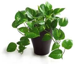 10 easy to grow indoor plants in india interior design ideas