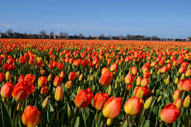 the tulip fields in holland are a spectacular sight to see u2026wow