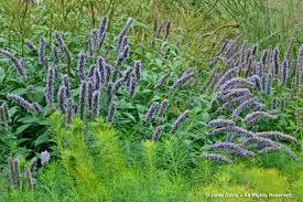 native border plants piet oudolf janet davis explores colour