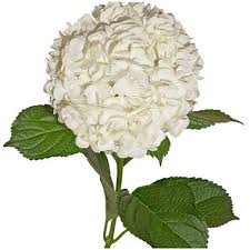 white hydrangeas premium hydrangea white 30 stems sam s club