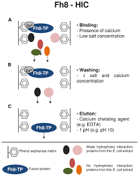 Flag Tag Dna Sequence Frontiers Fusion Tags For Protein Solubility Purification And