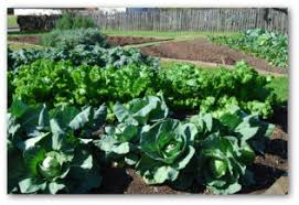 raising cabbage plants in a home garden