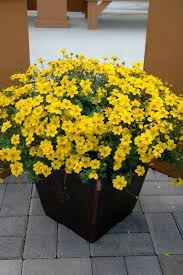 460 best container plants for full sun images on pinterest