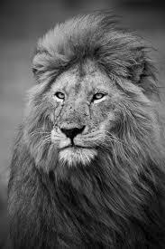 93 best galatasaray lions images on pinterest lion mask lions