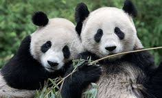 resultado de imagen para memes de cnco panditas los amamos