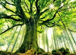 the 23 most gorgeous trees from around the world tree