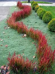 japanese blood grass imperata cylindrica baron the garden