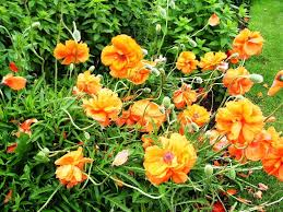 poppy flower u2013 start to growing your own backyard diy home garden