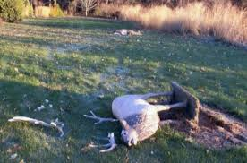 unlucky buck deer loses with lawn ornament local