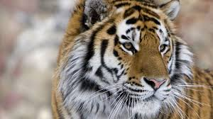 siberian tiger safaris tiger holidays safaris