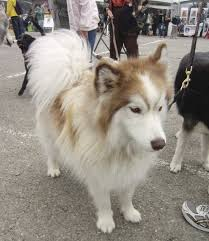 american eskimo dog poodle mix dog of the day gorgeous malamute mix the dogs of san