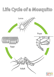 life cycle of a mosquito coloring page free printable coloring pages