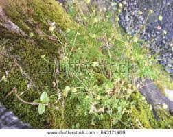 Bachelor Buttons Wild Bachelors Buttons Stock Images Royalty Free Images U0026 Vectors