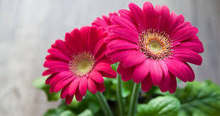 gerbera plant did you gerbera is the fifth most popular flower in the world