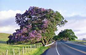 Tree With Purple Flowers Spring Is Full Of Maui U0027s Flowering Trees
