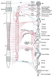 Visceral Somatic Reflex Introduction To The Autonomic Nervous System Boundless Anatomy