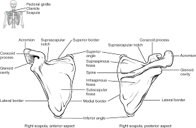the pectoral girdle anatomy and physiology