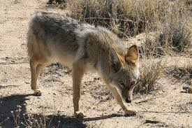 coyote removal los angeles ca pest removal nj