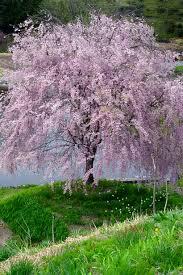cherry i want garden cherries and