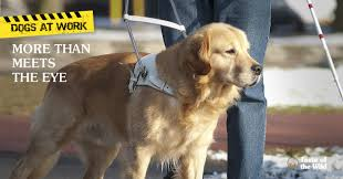 Dogs Helping Blind People Seeing Eye Dogs Provide Services You Can U0027t Always See Taste Of
