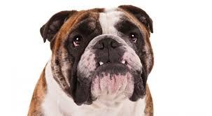 37 bulldog pics