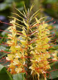 spectacular gingers u0026 other amazing exotic plants rare plants ginger san diego zoo animals u0026 plants