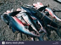 shark fishing blue shark prionace glauca baja california pacific