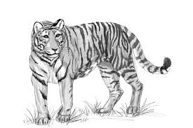 tiger sketch by malloth86 on deviantart