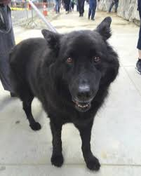 belgian shepherd lab mix dog and cat page 214 dog and cat website