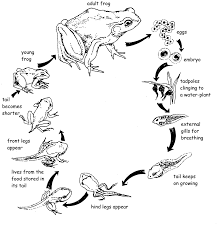 lifecycle of tadpole to frog kids activities pinterest