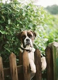 boxer dog quebec balancing act 131 365 dog