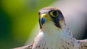 farmers turn to terrifying falcons to scare away pests modern farmer