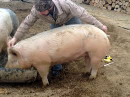 how to estimate the weight of a live hog reformation acres