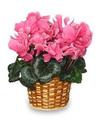blooming plants flowering cyclamen 6 inch blooming plant all house plants