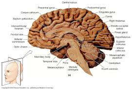 Gross Anatomy Of The Brain And Cranial Nerves Worksheet Biol 160 Human Anatomy And Physiology