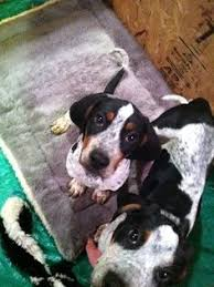bluetick coonhound apparel purebred bluetick coonhound puppies in montana mt free montana