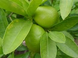 common diseases of lime trees gardening channel
