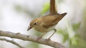 bto bird id nightingale and other night singers youtube