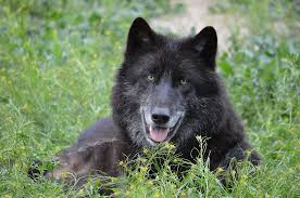 belgian shepherd timberwolf zenfolio singing moon wolfdogs nashoba black phase male