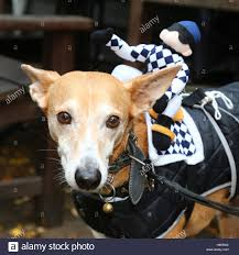 london uk 30th october 2016 dogs dressed up in halloween fancy